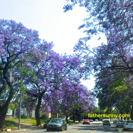 CEE'S FUN PHOTO CHALLENGE: Trees #1 - Jacaranda Trees