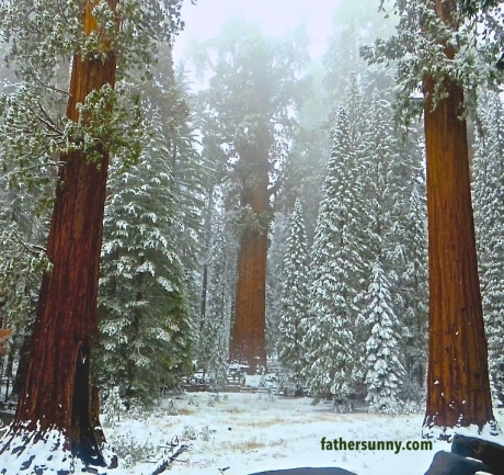 CEE'S  FUN FOTO CHALLENGE: Trees#2 - Sequoias